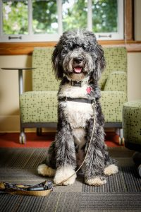 Wake Forest OPCD staff dog Deacon Blue poses for a portrait on Monday, August 28, 2017.