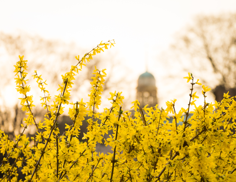 Cupola of Z. Smith Reynolds Library, Early Morning Tree View