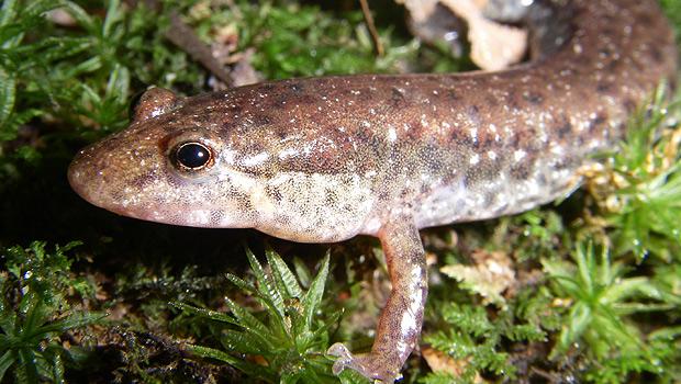 Northern Dusky Salamander