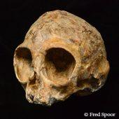 Alesi, the skull of the new extinct ape species Nyanzapithecus alesi